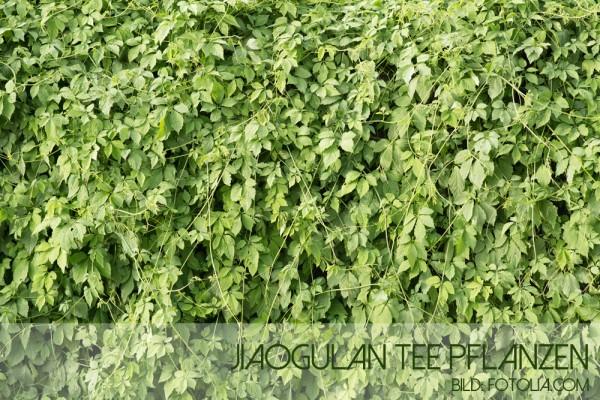Jiaogulan_Tee5a549cc6c03ce