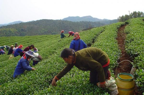 Teeplantage Nordthailand