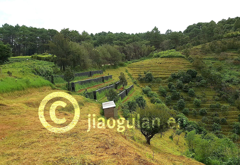 Jiaogulan Plantage / Nordthailand