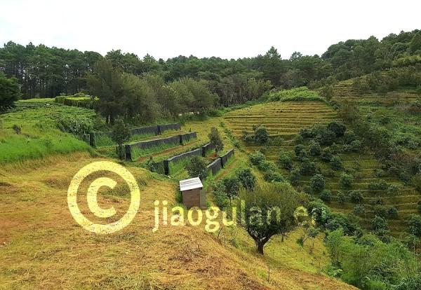 Jiaogulan_PlantageoYQmliR9R9cgC